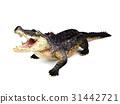 Crocodile isolated on white background 31442721