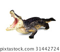 Crocodile isolated on white background 31442724