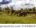 Herd of horses different colors grazing on meadow 31446620