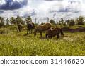 farmland, grass, herd 31446620