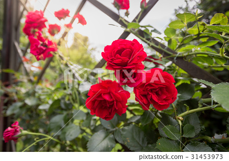 beautiful red roses growing on decorative fence 31453973
