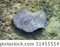 Stingray swimming in shallow water at the coast of 31455554