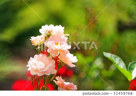 玫瑰 玫瑰花 花朵 31459768