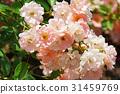 玫瑰 玫瑰花 花朵 31459769