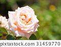 玫瑰 玫瑰花 感受 31459770