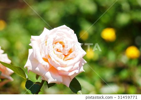 玫瑰 玫瑰花 感受 31459771