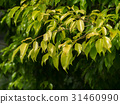 The young leaves of the banyan tree 31460990