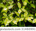 The young leaves of the banyan tree 31460991