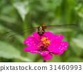 Dragonfly on Zinnia flower. 31460993