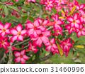 Pink flower of Adenium obesum 31460996