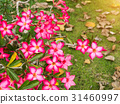 Pink flower of Adenium obesum 31460997