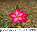 Pink flower of Adenium obesum 31460998