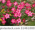Pink flower of Adenium obesum 31461000