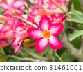 Pink flower of Adenium obesum 31461001