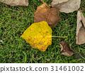 Banyan Tree leaf on the ground 31461002