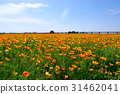 poppy, field, bloom 31462041
