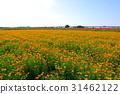 罌粟田 罌粟花 花朵 31462122