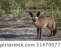 Bat-eared fox starring at the camera. 31470077