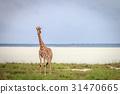 Giraffe starring at the camera in Etosha. 31470665
