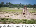 Two Zebras fighting in Etosha. 31470677