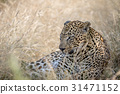 Big male Leopard laying in the high grass. 31471152