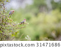 Two Red-faced mousebirds sitting on a branch. 31471686