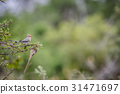 Red-faced mousebird sitting on a branch. 31471697