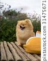 dog / dog pomeranian spitz 31475671
