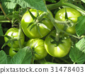 Green tomatoes on branch in garden 31478403