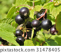 Berries of black currant. Fruiting bush of currant 31478405
