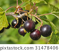 Berries of black currant. Fruiting bush of currant 31478406