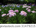 bloom, blossom, blossoms 31479215