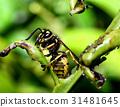 Macro of an wasp 31481645