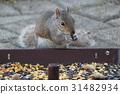 squirrel, squirrels, grey 31482934