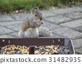 squirrel, squirrels, grey 31482935