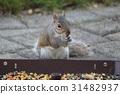 squirrel, squirrels, grey 31482937