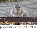 squirrel, squirrels, grey 31482938