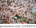 Sakura Flower or Cherry Blossom  31498456