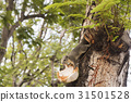 Squirrel eating coconut on tree. 31501528