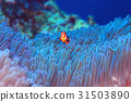 anemone fish, anemonefish, clown anemonefish 31503890