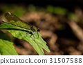 dragonfly, dragon-fly, insect 31507588