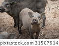 Wild boar in the park 31507914