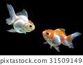 ปลา,ทอง,ปลาทอง 31509149