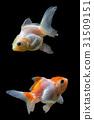 ปลา,ทอง,ปลาทอง 31509151