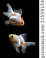 Goldfish 31509154