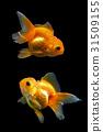 Goldfish 31509155