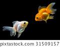 ปลา,ทอง,ปลาทอง 31509157