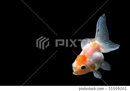 Goldfish 31509201