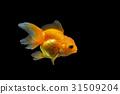 ปลา,ทอง,ปลาทอง 31509204