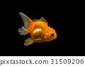 Goldfish 31509206